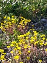 Sedum rupestre (L.) - Felsen-Fetthenne - L'Orpin des Rochers - Erba Pinnocchia - Reflexed Stonecrop