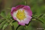 Rosa dumalis (BECHST.) - Vogesenrose - Rosier des Vosges - Rosa dei Vosgi è Rosa selvatica di montagna - Glaucous Dog Rose