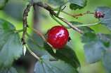 Ribes alpinum (L.) - Alpen-Johannisbeere - Groseillier des Alpes - Ribes rosso - Alpine currant
