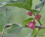 Euonymus europaea (L.) - Gemeines Pfaffenhütchen - Fusain d'Europe - Bonnet de prêtre - Bois-carré - Berretto da prete - Corallini - European spindle tree
