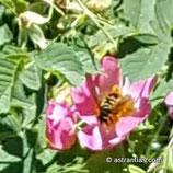 Rosa subcollina (CHRIST) - Falsche Hügel-Rose - Rosier des collines - Rosa subcollina - False Hill Rose