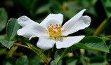 Rosa stylosa (DESV.) - Griffel-Rose - Rosier à styles soudés - Rosa con stili saldati - Short-styled Field Rose