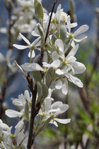 Amelanchier ovalis (MEDIKUS) - Felsenmispel - Néflier des rochers - Pero corvino - Snowy mespilus
