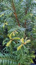 Taxus baccata (L.) - Europäische Eibe - If à baies - Tasso - European Yew