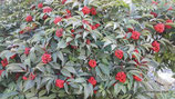 Sambucus racemosa (L.) - Roter Holunder - Sureau à grappes - Sambuco racemosa - Red Elderberry