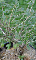 Ribes uva-crispa (L.) - Wilde Stachelbeere - Groseillier épineux - Ribes uva spina - Gooseberry