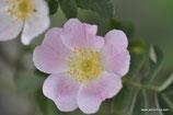 Rosa chavinii (RAPIN) - Chavins-Rose - Rosier de Chavin - Rosa di Chavin - Chavins Rose