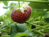 Erdbeeren, 500g (ca. ab ende Mai/anfangs Juni 2021)