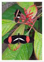 Vlinder-2 10 x 15 cm.