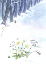 """Kinderpostkarte """"Christrose"""" DD"""