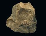 Atractopyge cf. rex (NIESZKOWSKI 1857)