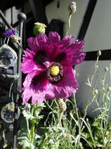 Mohn lila ausgefranst