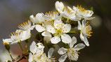 Obstblütenhonig im 500 g DIB-Glas