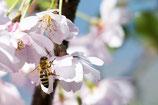 Obstblütenhonig mit Rapshonig im 500 g DIB-Glas