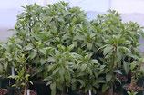 小サイズ 【6号ロングスリット鉢】オンブー(Phytolacca dioica) 『実生苗』[送料1000円]
