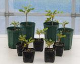 CSP90鉢植え(容量0.3リットル:3号鉢相当)リグナムバイタ(Guaiacum officinale)  『実生苗』[送料700円]