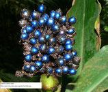 CSP90鉢植え(容量0.3リットル:3号鉢相当)ポリア・コンデンサータ(Pollia condensata) ツユクサ科 『実生苗』[送料800円]