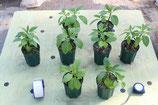 【現在生産中】【4号ロングスリット鉢】オンブー(Phytolacca dioica) 『実生苗』[送料900円]