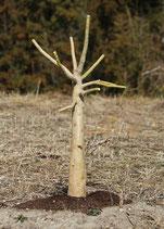 中サイズ 【6号ロングスリット鉢】オンブー(Phytolacca dioica) 『実生苗』[送料1000円]