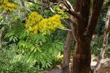【6号ロングスリット鉢】デロニクス・フロリバンダ(Delonix floribunda)『実生苗』[送料1000円]