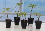挿し木オンブー CSP120深鉢植え苗(容量880㏄:4号鉢相当)【送料800円】