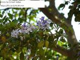 【4号ロングスリット鉢】リグナムバイタ(Guaiacum officinale)『実生苗』[送料800円]