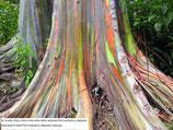 すぐに鉢増し可能です!お勧め!!【CSP120深鉢植え】レインボーユーカリ(Eucalyptus deglupta) フトモモ科ユーカリ属『実生苗』[送料1000円]