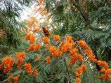 コルヴィレア・ラセモサ(Colvillea racemosa) 6号ロングスリット鉢 『実生苗』[送料1000円]