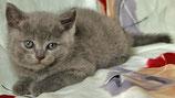 Котик британский голубой (bri a)
