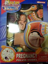 Puzzle 4D.  La anatomía de la pelvis del embarazo humano