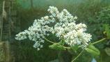Fagopyrum dibotris - Epinard arbustif/Epinard d'Asie AB