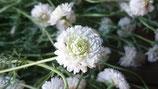Chamaemelum nobile 'Flore Pleno' - Camomille romaine à fleurs doubles AB
