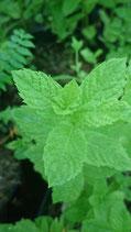 Mentha spicata 'Mexique' - Menthe verte du Mexique AB