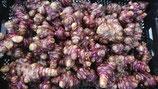 Helianthus tuberosus - Topinambour AB