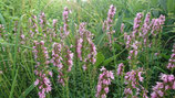 Hyssopus officinalis 'Roseus' - Hysope officinale rose AB