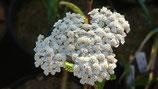 Achillea millefolium - Achillée millefeuille/Herbe au charpentier AB