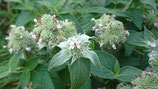 Pycanthemum verticillatum var. pilosum - Menthe des montagnes à feuilles poilues AB