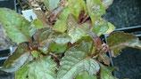 Acmella oleracea f. purpurea - Brede mafane pourpre AB