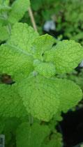 Mentha suaveolens 'Dordogne' - Menthe odorante de Dordogne AB