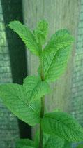 Mentha spicata var. crispa 'Thai Bai Saranae' - Menthe verte à feuilles crispées thaï AB