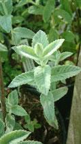 Mentha longifolia subsp. hymalaiensis - Menthe à longues feuilles de l'Himalaya AB