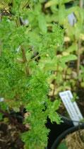 Mentha spicata var. crispa 'Regarica' - Menthe verte à feuilles crispées Regarica AB