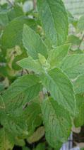 Mentha ssp. 'Lemon' - Menthe citron AB