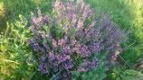 Salvia lavandulifolia - Sauge à feuilles de lavande AB