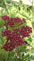 Achillea millefolium 'Cassis - Achillée millefeuille/Herbe au charpentier Cassis AB