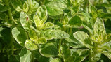 Origanum vulgare 'Polyphant' - Origan commun à feuillage panaché AB
