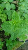 Mentha spicata 'Vallée de la Drôme' - Menthe verte de la Vallée de la Drôme AB