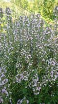 Thymus vulgaris - Thym commun AB