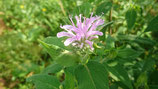 Monarda fistulosa - Monarde fistuleuse/Bergamote sauvage AB