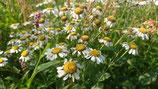 Tanacetum balsamita - Menthe-coq/balsamite AB